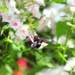Black carpenter bee sitting on flox flower — Stock Photo