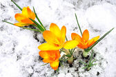 Yellow crocus flowers in the snow — Stock Photo