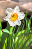 Narcissus flower on spring — Stock Photo