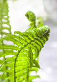 Young fern leaf closeup — Stock Photo