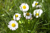 White marguerite flowers in green grass — Stock Photo