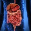 Stock Photo: 3D Rendering Intestinal internal organs