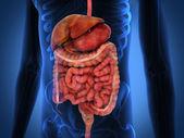 3d 渲染肠道内部器官 — 图库照片