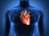Anatomie du cœur humain d'un corps sain — Photo