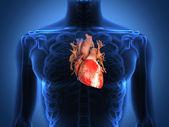 Sağlıklı bir vücut üzerinden insan kalp anatomisi — Stok fotoğraf