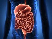 呈现肠道内部器官 — 图库照片