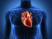 анатомия человеческого сердца от здорового тела — Стоковое фото