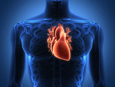 Human heart anatomy from a healthy body — 图库照片