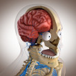 Royalty-Free Stock Photo: Human anatomy - structure of head brain, eyes etc