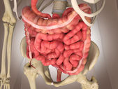 Organe interne intestinale de 3d rendu — Photo