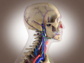 Human anatomy - structure of head brain, eyes etc — Stock Photo