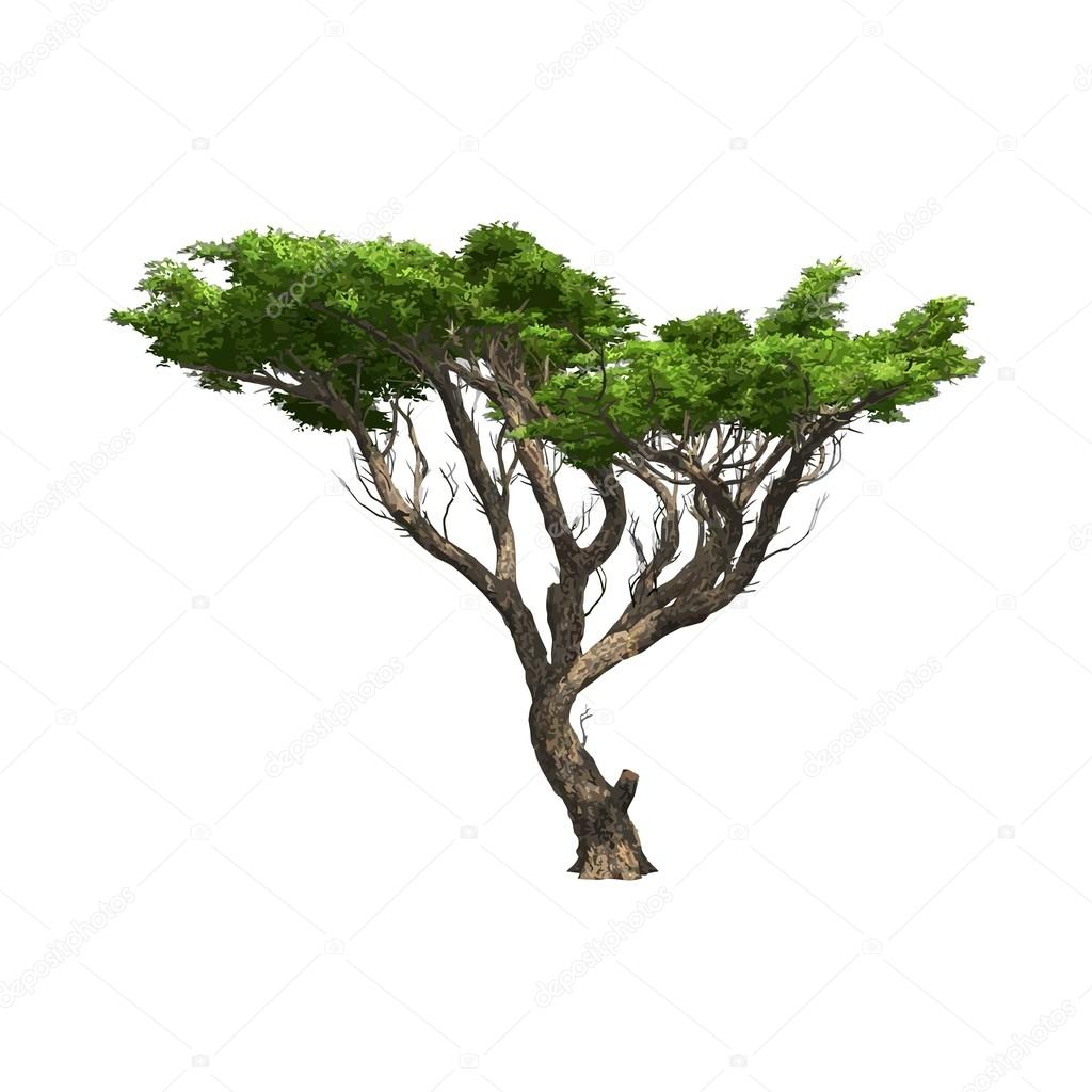 Acacia tree isolated. Vector