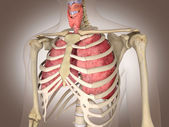 Man skeleton with internal organs. 3 D digital rendering. — Stock Photo