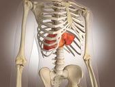 3d rendering darm innere organe — Stockfoto