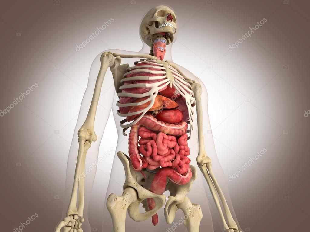 Anatomie mensch 3d download | SOUNDSUNLEARN.GA