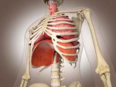 Man skelet met inwendige organen. 3 d digitale weergave. — Stockfoto