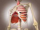 Man skeleton with internal organs. 3 D digital rendering. — Stock Photo