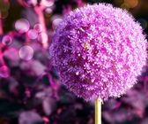 Fond fleur d'ail violet — Photo