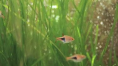 Small fish in an aquarium with green algae — Stock Video