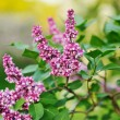 Stock Photo: Purple lilac bush blooming