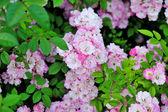 Beautiful garden roses — Stock Photo