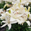 White lilies in bloom — Stock Photo