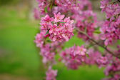Blossoming apple-tree on a background of green grass — Stock Photo