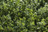 Close-up do verde fresco folhas com gotas de água após a chuva — Foto Stock