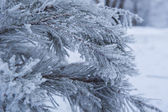 Snow-covered tree branch in winter — Stockfoto