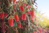 Red flowers of bottle brush tree (Callistemon)  — Foto de Stock