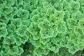 Selaginella apoda — Foto de Stock