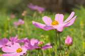 Cosmos pink flower — Stock Photo