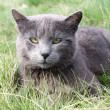 Grey cat — Foto de Stock