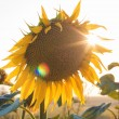 Sunflowers at sunset — Stockfoto