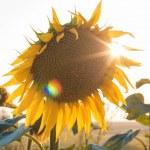 Sunflowers at sunset — Stock Photo #23175036