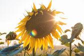 Girassóis ao pôr do sol — Fotografia Stock