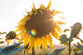 Sunflowers at sunset — 图库照片