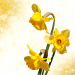 Bouquet of yellow daffodil flowers isolated on white - Stock Photo