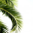Palm leaves isolated on white background — Foto Stock