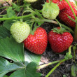 Closeup of fresh organic strawberries — Stok fotoğraf