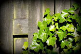 Green Ivy leaves over old plank — Stock Photo
