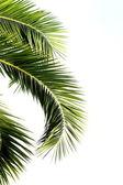 Palm leaves isolated on white background — Fotografia Stock