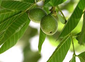 Green walnuts on a tree branch — Stock Photo