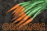 Nueva cosecha fresca orgánica zanahorias con texto — Foto de Stock