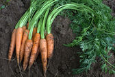Fresh organic carrots on soil — Stock Photo