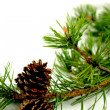 Pine branch and cones — Stock Photo