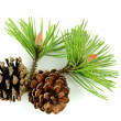 Pine branch and cones — Stock fotografie
