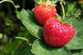 有機栽培のイチゴ — ストック写真