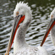 Dalmatian Pelicans — Stock Photo