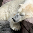 Sleeping polar bear — Stock Photo #15651015